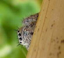 Curious Jumping Spider by Michelle McCullough