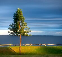 Cottesloe Pine by Christina Backus