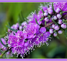 Pink Kunzea Flowers & Buds by GrannyMay