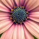 African Daisy by alan shapiro