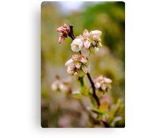Blueberry flowers Canvas Print