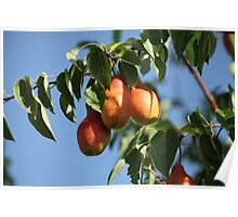 ripe pears Poster
