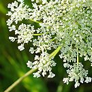 Queen Anne's Lace Close-up 1 by Robin Clifton