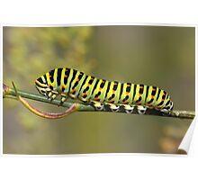 Swallowtail Caterpillar (Papilio machaon) Poster