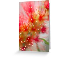 An Australian red bottlebrush flower in spring Greeting Card
