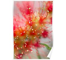 An Australian red bottlebrush flower in spring Poster