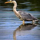 Grey Heron reflection by Violaman
