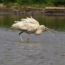 Yellow Spoonbill by Kym Bradley