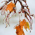 Maple on Ice  by Nancy Barrett