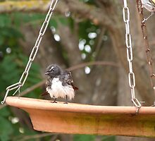 'I FEEL BETTER NOW!'  Willy Wagtail finally gets his turn. Sth Aust. by Rita Blom