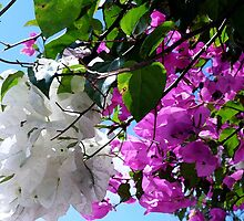 Bougainvillea  by Polly Peacock