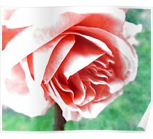 Rose Scented  Poster
