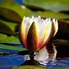 Water Lily by Violaman