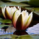 Water Lilies by Violaman