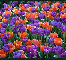 Tulip Glory - Purple & Orange by GrannyMay