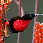 Scarlet Chested Sunbird by jozi1