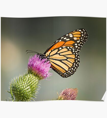 Monarch Of The Wild Poster