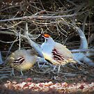 Gambels Quail~ Father w/ Chick by Kimberly Chadwick