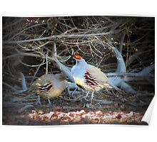 Gambels Quail~ Father w/ Chick Poster