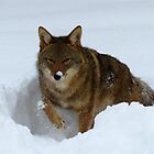 Coyote in the Snow by Tracy Engle