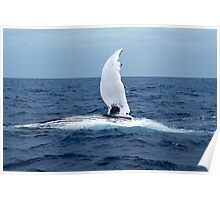 Humpback Whale Pectoral Slapping Poster