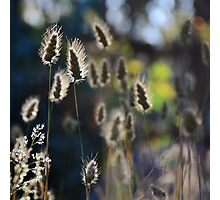 Graceful Grasses 2 Photographic Print