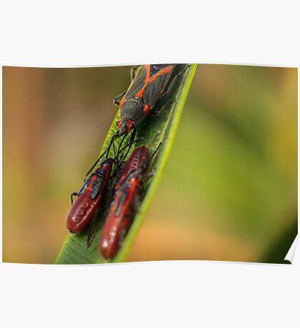 Boxelder Bug 1 Poster
