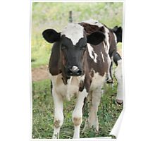 Calf in a Field Poster