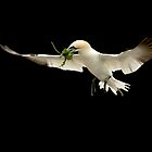 Northern gannet in flight by dgwildlife