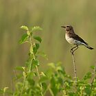 Pied Wheatear by dgwildlife
