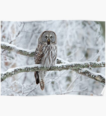 Great Grey Owl Perched Poster