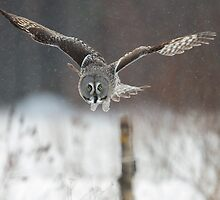 Great Grey Owl in Flight by dgwildlife
