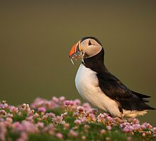Atlantic Puffin in Thrift by dgwildlife