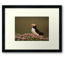 Atlantic Puffin in Thrift Framed Print