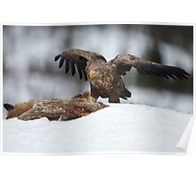 White-tailed Sea Eagle Feeding Poster