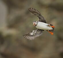 Atlantic Puffin Landing by dgwildlife