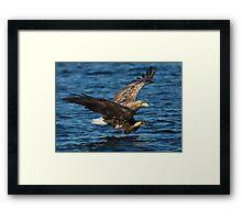 White-tailed Eagle Hunting Framed Print