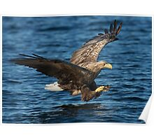 White-tailed Eagle Hunting Poster