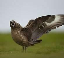 Great Skua Displaying by dgwildlife