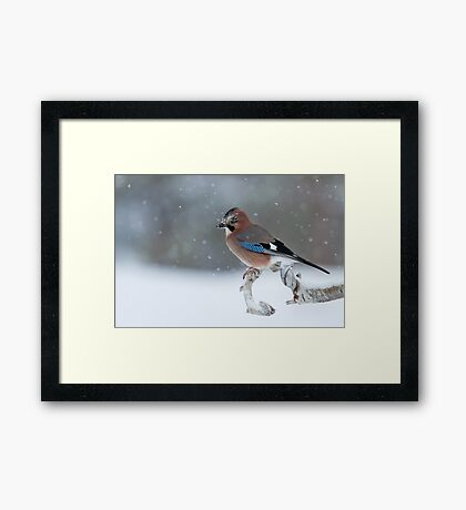 Eurasian Jay Perched on Tree Branch Framed Print
