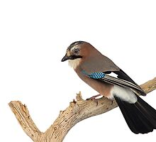 Eurasian Jay Perched on Tree Branch by dgwildlife