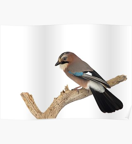 Eurasian Jay Perched on Tree Branch Poster