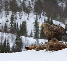 White-tailed sea eagle high in the mountains  by dgwildlife