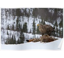 White-tailed sea eagle high in the mountains  Poster