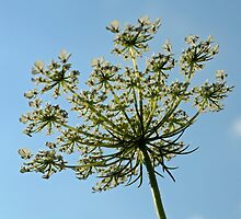 Queen Anne's Lace Close-up 3 by Robin Clifton