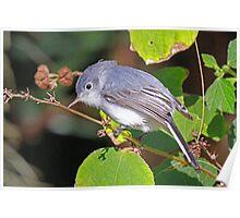 A Blue-Gray Gnatcatcher Poster