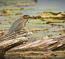 Green Heron by Thomas Young