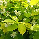 Sunlit  Jasmine Blossoms and Leaves by BlueMoonRose