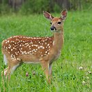 Bambi by Mark Iocchelli