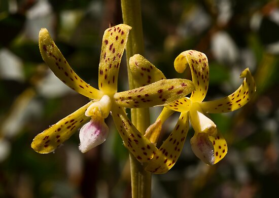 Dipodium hamiltonianum Yellow hyacinth-orchid by David  Piko